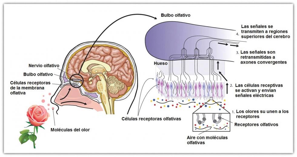 Resultado de imagen para sistema olfativo