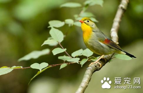 什麼鳥比較好養 選擇一些價格便宜又好養的鳥 - 愛寵物咨詢網