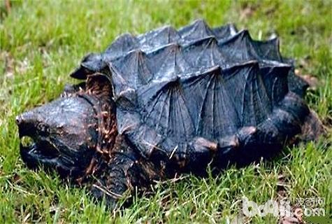 小鱷龜怎么養?鱷龜價格 - 愛寵物咨詢網