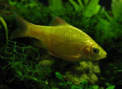 玫瑰鯽怎麼繁殖 這種魚很容易繁殖 - 愛寵物咨詢網
