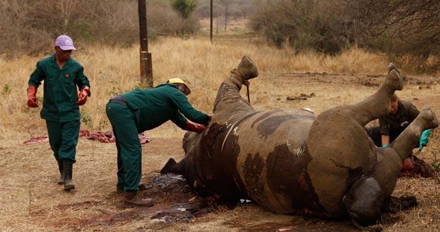 Trabajadores que examinan a un rinoceronte matado en el parque Kruger, en Sudáfrica.
