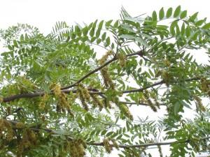 Gleditsia-triacanthos гледичия