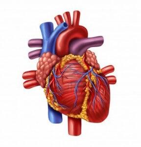 физиология на сърцето