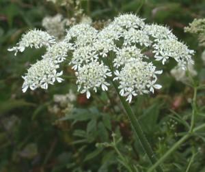 heracleum-sphondylium девесил