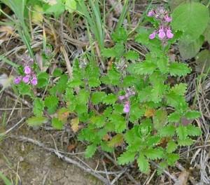 обикновено подъбиче -Teucrium-chamaedrys
