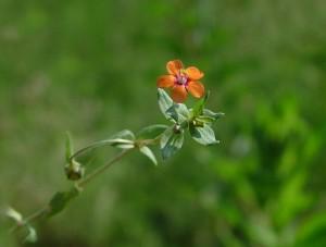 ognivche-Anagallis-arvensis-plant