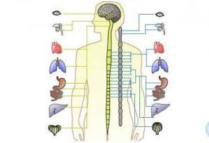 vegetativna-nervna-sistema
