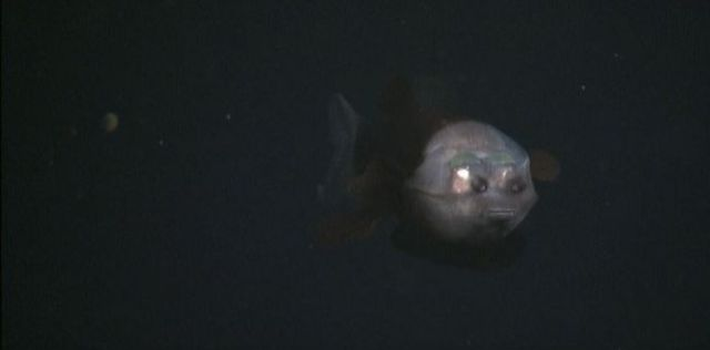 Fish with a transparent head (10 pics +1 video)