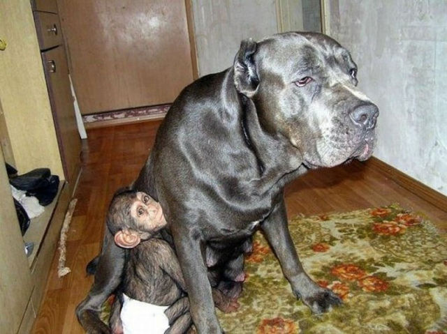 Huge Dog Adopts A Little Chimp