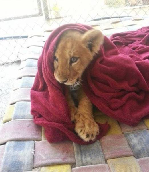 Snuggly Young Lion In A Rescue Center