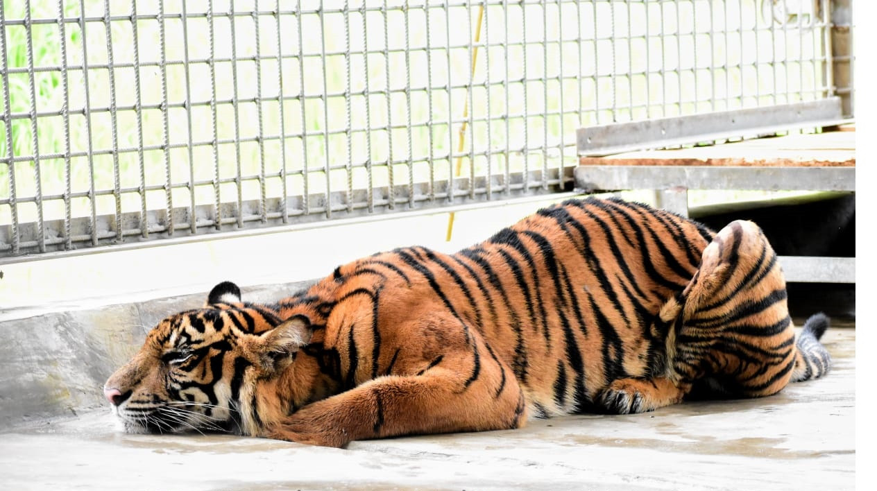 Sumatran Tigers Face Perilous Future As Efforts Made To Improve Breeding In Captivity National The Jakarta Post