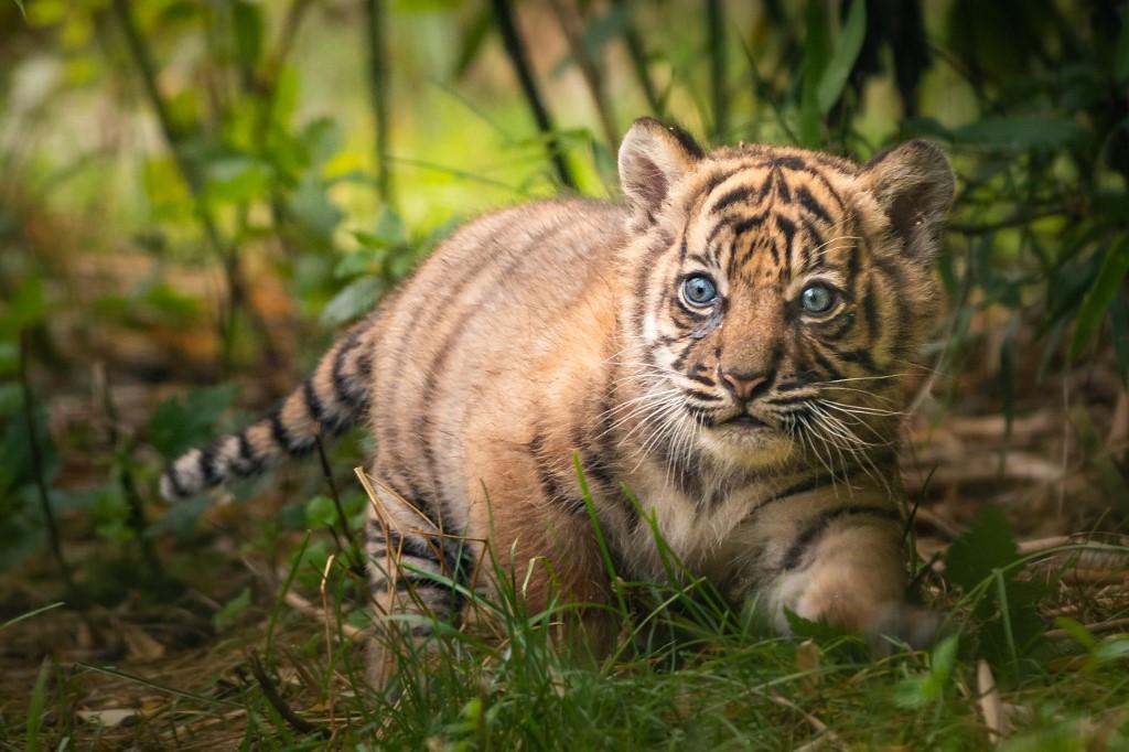 Sumatran Tiger Cub Born In Polish Zoo Environment The Jakarta Post