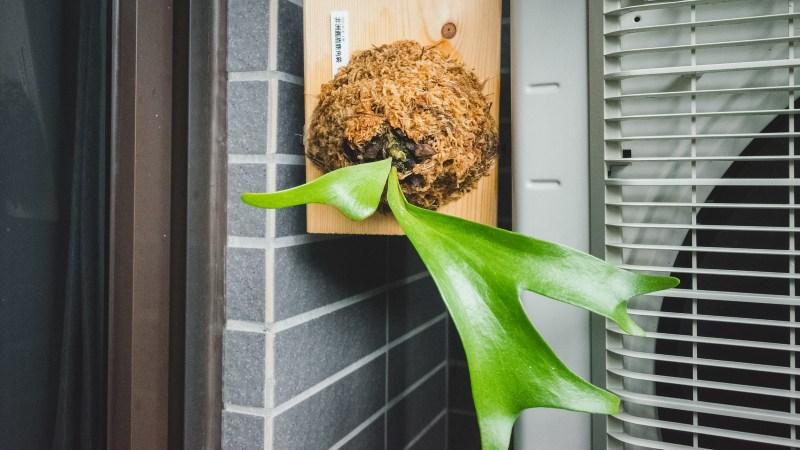 非洲圓盾鹿角蕨成長紀錄