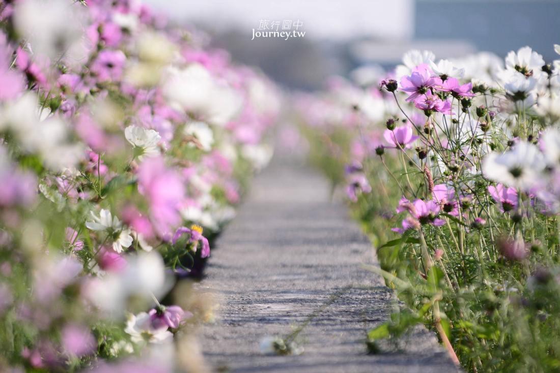 雲林,莿桐,孩沙里花海,波斯菊,油菜花,向日葵
