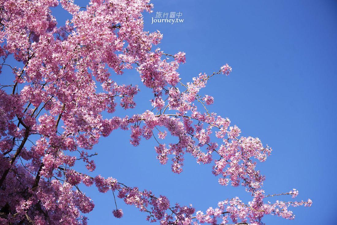 福島,會津若松,會津若松城,櫻花,鶴城