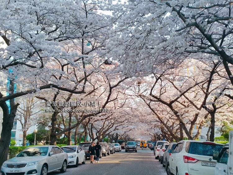 【釜山賞櫻】南川洞櫻花道,釜山櫻花景點必去!