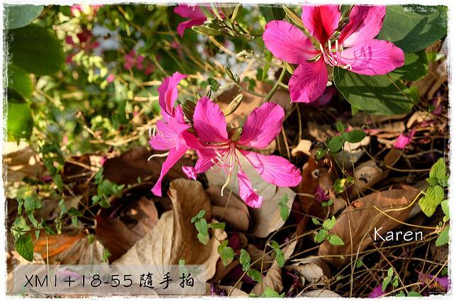 [台中] 麻園東/西街 紫荊花 XM1+18-55 隨手拍