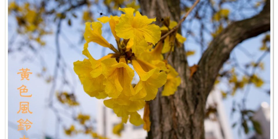 [台中。松竹五路] 黃澄澄的黃色風鈴木 (2/28拍攝)