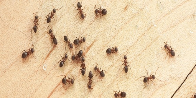 8 Easy Home Remedies To Get Rid Of Ants From