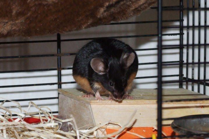 Gravidná myška