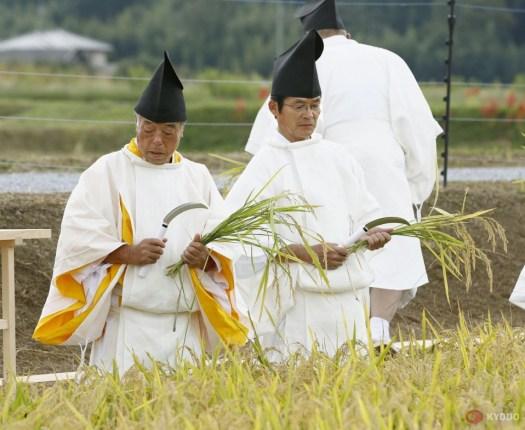 رهبان يقطفون الأرز لأجل طقس دايجوساي   عبر كيودو