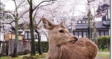奈良賞櫻鹿伴散策 》奈良公園、春日大社。準備好鹿仙貝與櫻花樹下的鹿們一起玩耍了嗎?散步奈良,下著雨也好有詩意