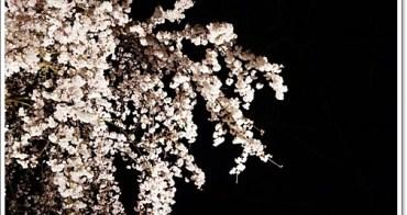 京都夜櫻 》二条城。想看夜櫻一定要來二条城,在這極黑的夜色中,所有的櫻花成為眼眶中最絢爛繽紛的景象♥