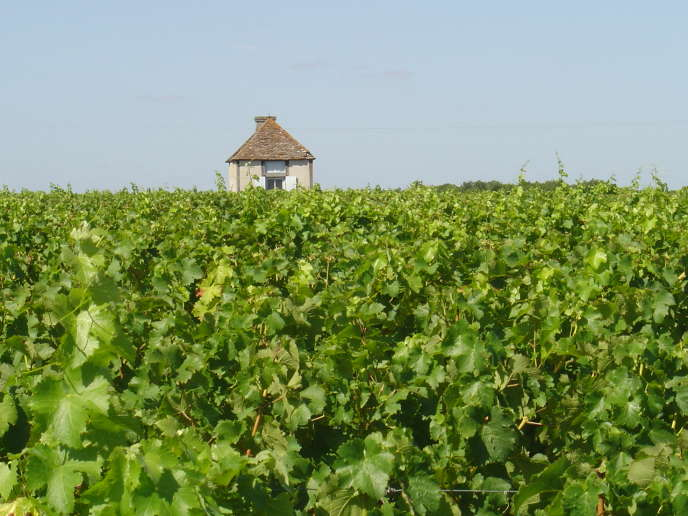 Vines in Indre-et-Loire.