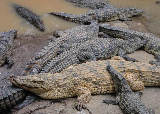 Élevés pour leur cuir, pour leur viande et maintenant pour le tourisme, les fermes de crocodiles sont dangereuses pour l'animal.