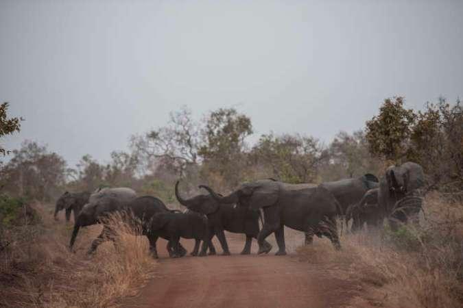 Une harde d'éléphants dans le parc de la Pendjari, en janvier 2018.