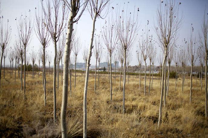 Plantation d'arbres pour freiner l'avancée du désert Chine, en périphérie de la ville de Xilinhot, enMongolie-Intérieure