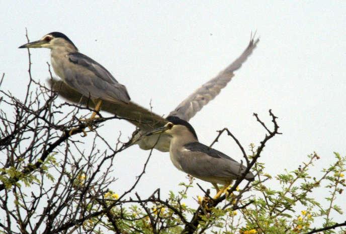 Des bihoreaux gris, une espèce qui niche en Europe et hiverne en Afrique, au parc national des oiseaux du Djoudj, au Sénégal, en 2005.