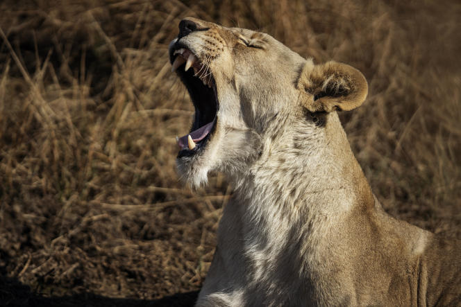 Une lionne dans la réserve de Dinokeng, au nord de Pretoria, en août 2020.