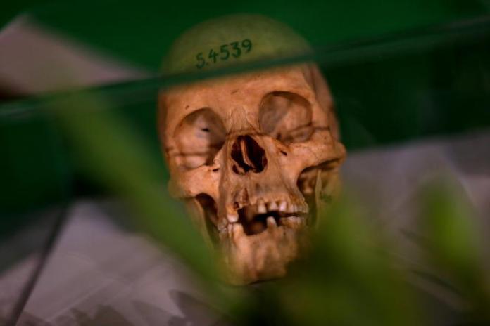 Un crâne est exposé à Berlin, le 29août 2018, lors d'une cérémonie de restitution à la Namibie de restes humains issus du génocide des Herero et des Nama.