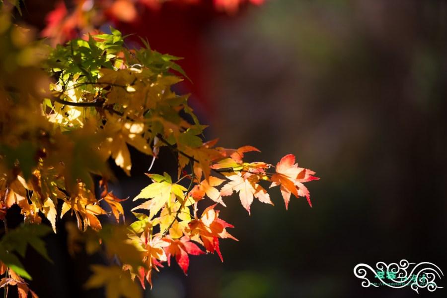 台中旅遊推薦》福壽山楓情 – 絕美紅葉