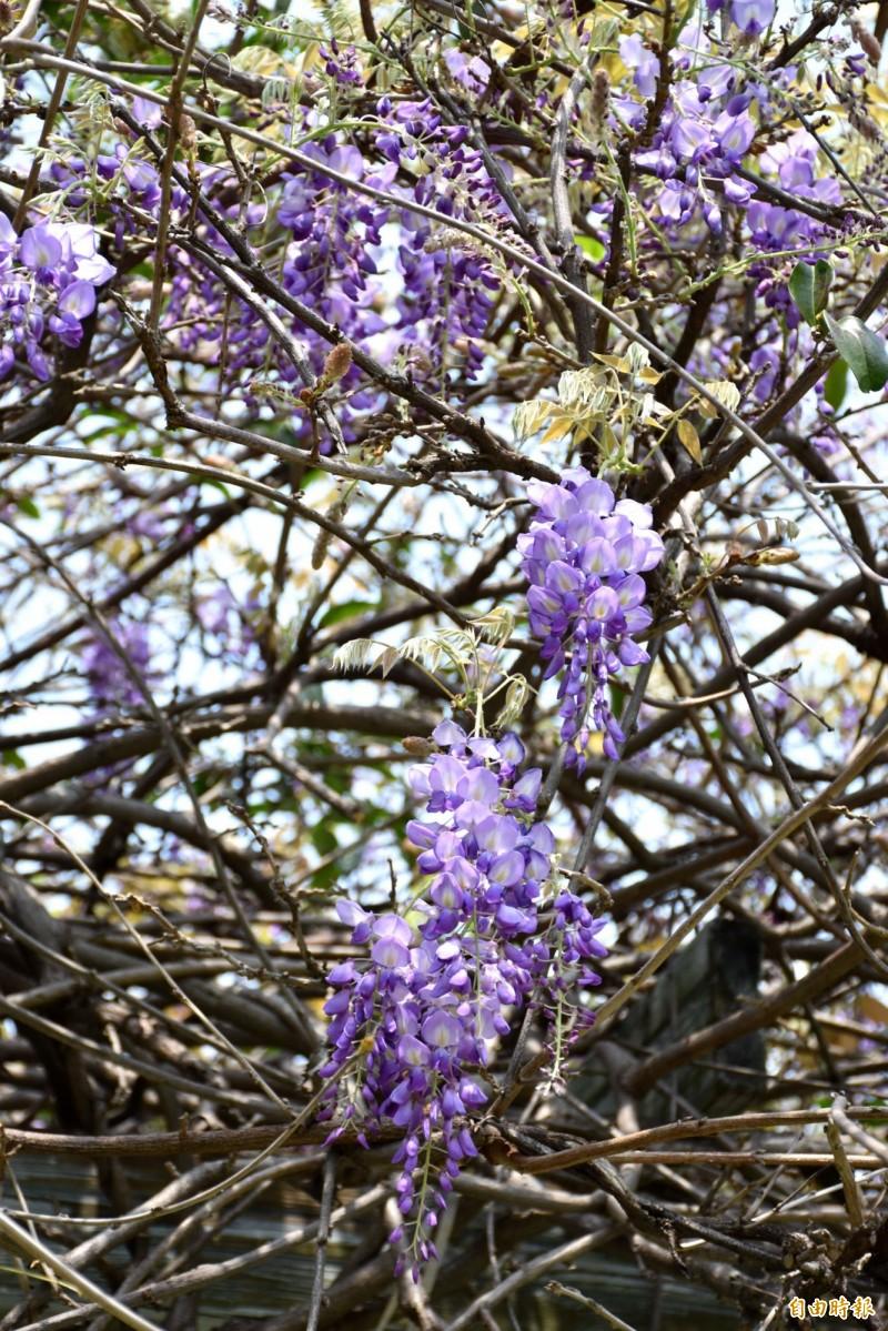 追花要快!桃園超夯紫藤花景點在這裡製造浪漫… - 生活 - 自由時報電子報