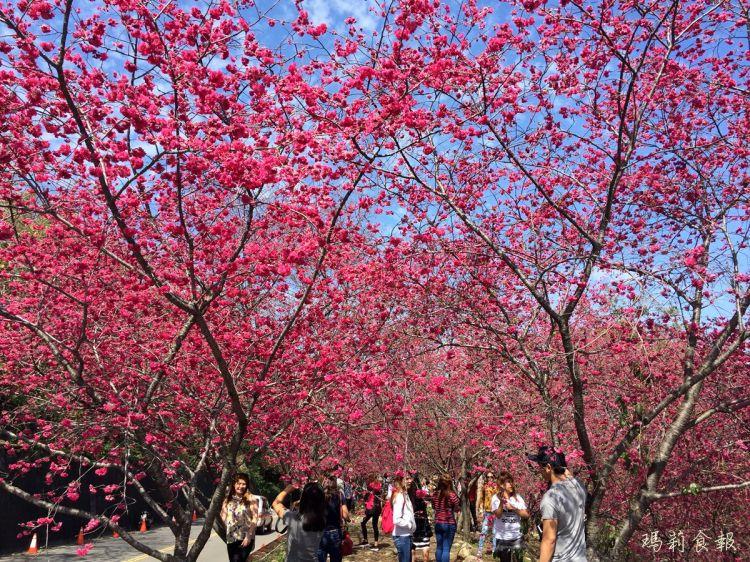 台中新社景點|櫻花季賞花秘境 129市道大南坡 免門票