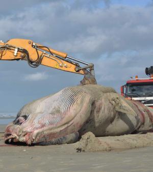baleine-échouée-novembre-2011
