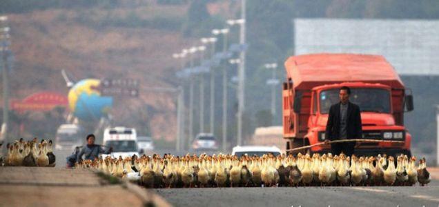 Ducks, Xu Ling, farmer
