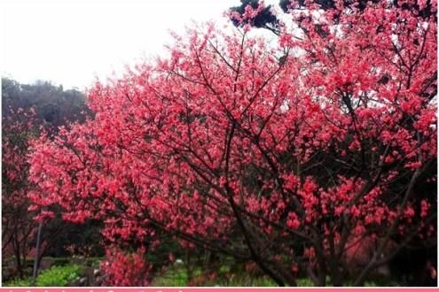 台北》北投2011陽明山花季開幕之陰雨綿綿冷翻天