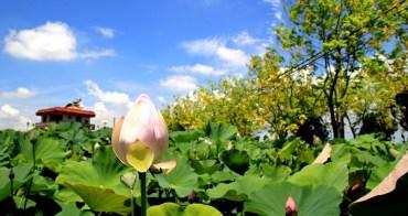 【台南賞花景點】白河詔安厝阿勃勒大道:蓮花、稻穗、黃金雨