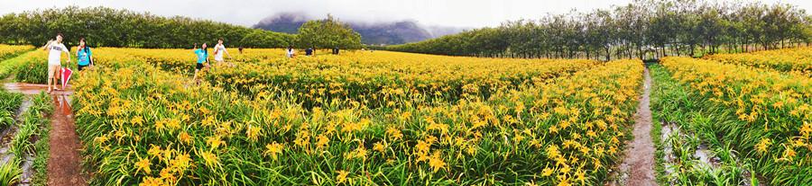 南投魚池景點   日月潭金針花海 二公傾超大金針花季開始囉 九月來當一日農夫