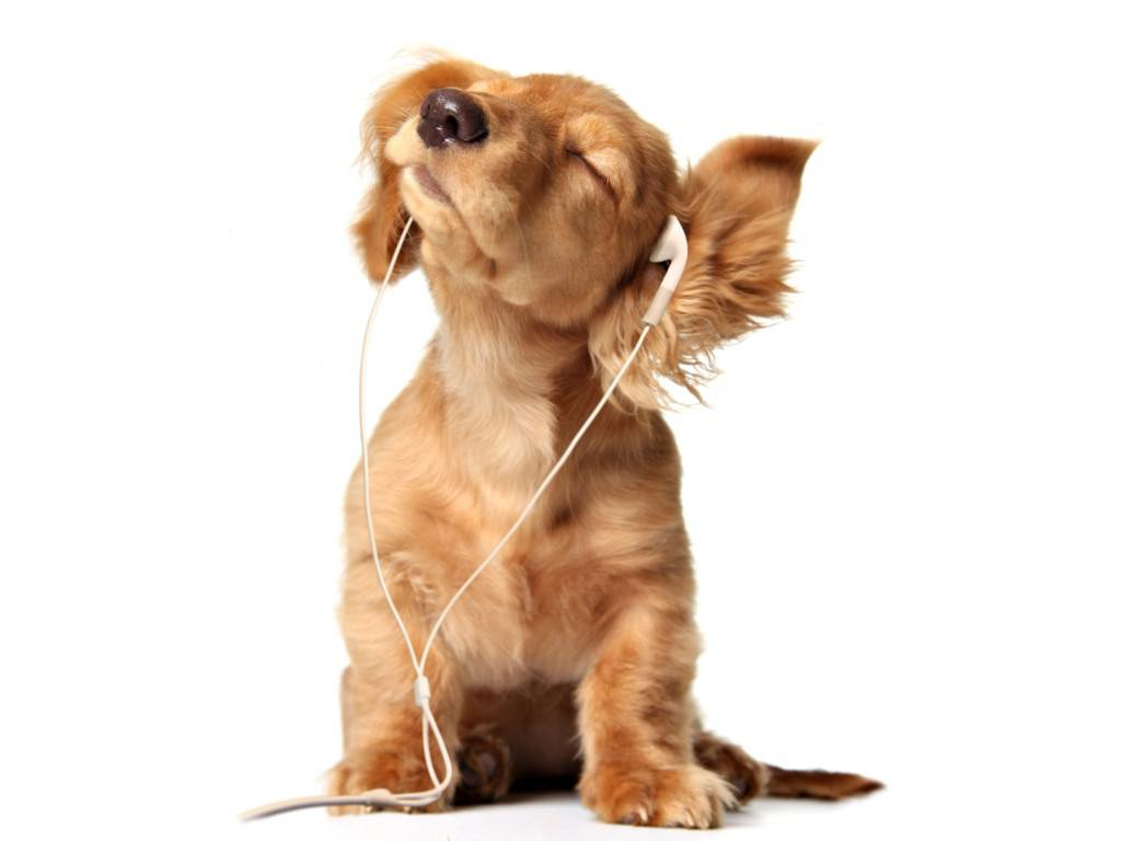 Young-Puppy-listening-to-music-on-head-phones-Wallpaper__yvt2