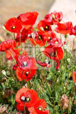 Blumen Rote Mohnblumen Bluhen Auf Wildfeld Schones Feld Rote