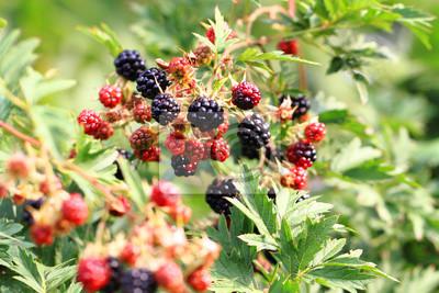 Brombeerpflanze Mit Fruchten Fototapete Fototapeten Blackberry Beere Busch Myloview De