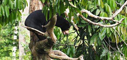 馬來西亞、沙巴|山打根馬來熊保育中心 Bornean Sun Bear Conservation Centre