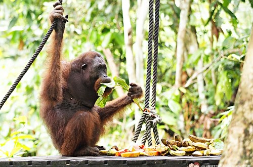 馬來西亞、沙巴|山打根西必洛人猿保育中心