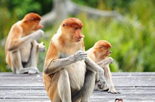 馬來西亞、沙巴|山打根拉卜灣長鼻猴保育區 Labuk Bay Proboscis Monkey Sanctuary