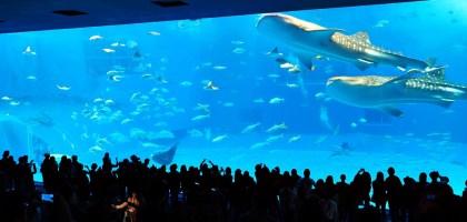 沖繩|美麗海水族館(沖縄美ら海水族館).如果沒來是不是少了些什麼?