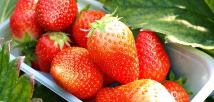 日本、三重 こうちく男爵草莓園.採草莓吃到飽體驗